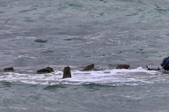 Eine Horde verspielter und neugieriger Seelöwen. Immer wieder ein großer Spass für Mensch und Tier. Peninsula Valdes, Patagonien. Foto & Copyright by Franz Sommer