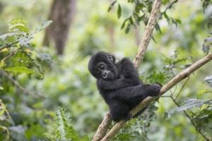 Junger Gorilla im Bwindi Nationalpark - Uganda